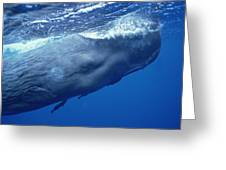 Sperm Whale With Remoras Dominica Greeting Card