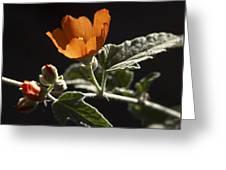 Sphaeralcea Ambigua Greeting Card