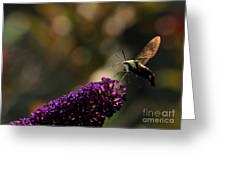 Sphinx Moth On Butterfly Bush Greeting Card