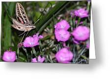 Sphinx Moth Greeting Card