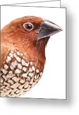 Spice Finch Lonchura Punctulata Portrait Greeting Card