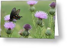 Spicebush Swallowtail Butterfly On Bull Thistle Wildflowers Greeting Card