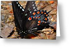 Spicebush Swallowtail Butterfly Preflight Greeting Card