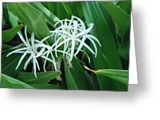 Spider Flower In Sint Maarten Greeting Card