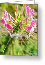 Spider Flower Greeting Card