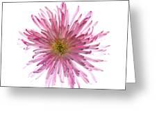 Spider Mum Flower Against White Greeting Card