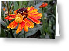 Spider On Helenium Greeting Card