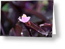 Spiderwort Dew Greeting Card