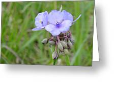 Spiderwort Greeting Card