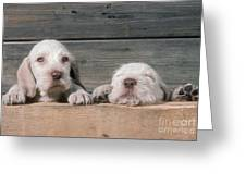 Spinone Puppies Greeting Card
