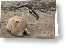 Spiral Horned Antelope Greeting Card