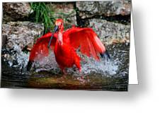 Splish Splash - Red Ibis Greeting Card