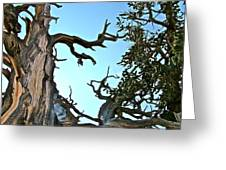Spooky Bristlecone Pine At Spectra Point On Ramparts Trail In Cedar Breaks National Monument-utah  Greeting Card