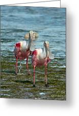 Spoonbills At The Shore Greeting Card