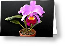 Spotlight On Purple Potted Cattleya Orchid Greeting Card