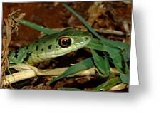 Spotted Bush Snake Philothamnus Semivariegatus Greeting Card