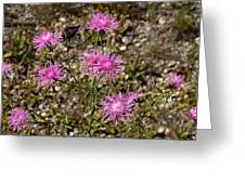Spotted Knapweed Greeting Card