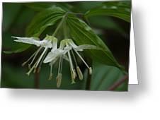 Spotted Mandrin . Disporum Maculatum Greeting Card