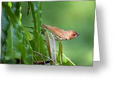Spotted Munia Greeting Card