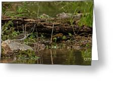 Spotted Sandpiper 2 Greeting Card