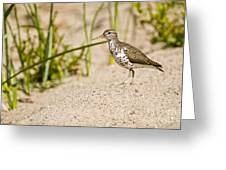 Spotted Sandpiper Pictures 45 Greeting Card