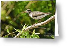 Spotted Sandpiper Pictures 48 Greeting Card