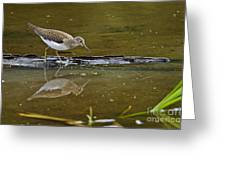 Spotted Sandpiper Pictures 61 Greeting Card