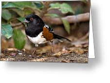 Spotted Towhee Pipilo Maculatus Greeting Card