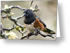Spottet Towhee With Attitude Greeting Card