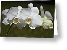 Spray Of Beautiful White Orchids Greeting Card
