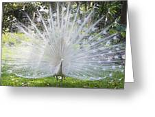 Spreading Peacock Display Greeting Card