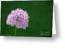 Spring Allium Greeting Card