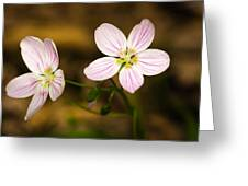 Spring Beauty Greeting Card by Thomas Pettengill