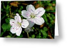 Spring Beauty Wildflowers - Claytonia Virginica Greeting Card