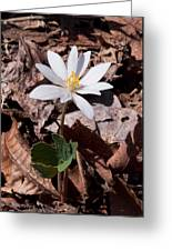 Spring Bloodroot Wildflower 2 Greeting Card