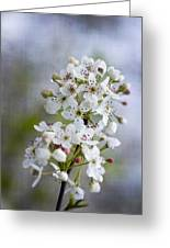 Spring Blooming Bradford Pear Blossoms Greeting Card