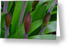 Spring Buds Amaryllis Greeting Card