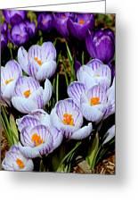 Spring Crocus Greeting Card