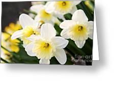 Spring Daffodils Greeting Card