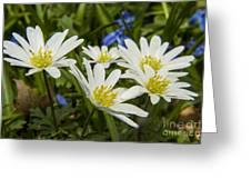 Spring Daisies Greeting Card