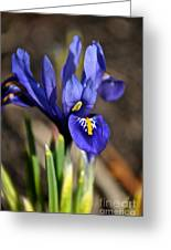 Spring Iris Greeting Card