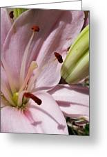 Spring Lily Pink Greeting Card
