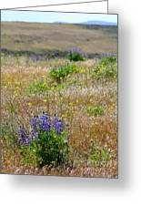 Spring Lupines And Cheatgrass Greeting Card