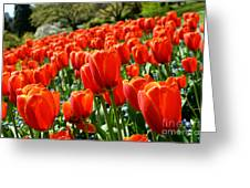 Spring Time Tulips 3 Greeting Card