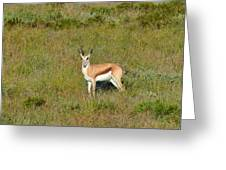 Springbok Greeting Card