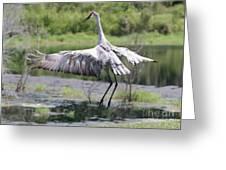 Springing Sandhill Crane Greeting Card