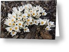 Springtime Abundance - A Bouquet Of Pure White Crocuses Greeting Card