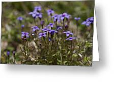 Springtime Tiny Bluet Wildflowers - Houstonia Pusilla Greeting Card