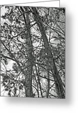 Springtime Woods - New Jesey Pine Barrens - Black And White Greeting Card