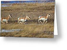 Sprinting Pronghorn Greeting Card
